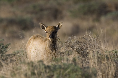 Tule Elk calf, Tule Elk Reserve, 10.13.07