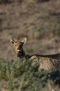 Tule Elk, Tule Elk Reserve, 10.13.07