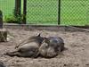 03 July 2011. Warthog at Marwell. Copyright Peter Drury 2011