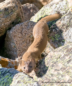Willowy Weasel