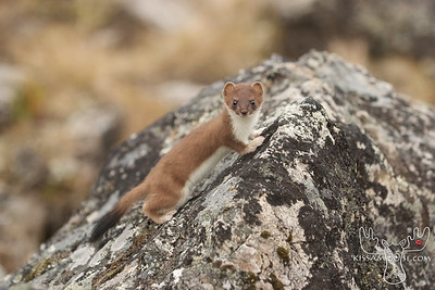 Weasel,, or Ermine turns white in the winter