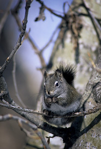 Western Grey Squirrel-101