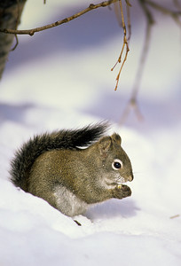 Western Grey Squirrel-102