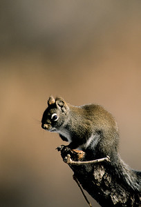 Western Grey Squirrel-103