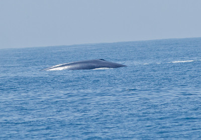 Blue Whale   Orange County waters 2012 07 21 (1 of 4).CR2