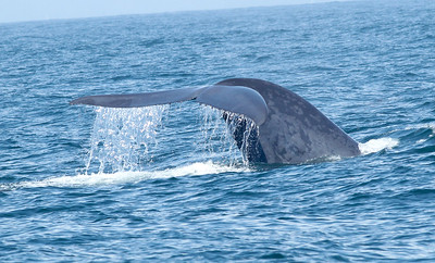 Blue Whale  Mexican Waters 2011 08 27-6173.JPG