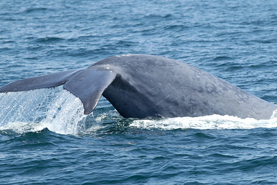 Blue Whale  Mexican Waters 2011 08 27-6119.JPG