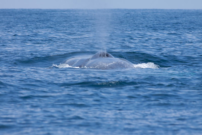 Blue Whale  San Diego Waters 2010 07 31 (5 of 6).CR2