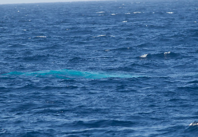 Blue Whale  San Diego Waters 2013 10 14-1.CR2