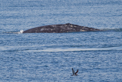 Gray Whales San Diego Waters   2013 02 02 (1 of 2).CR2
