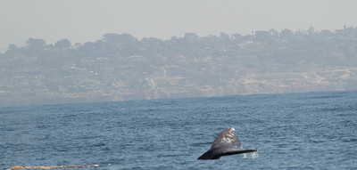 Gray Whale  San Diego Waters -3.CR2