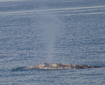 Gray Whales San Diego Waters   2013 02 02 (2 of 2).CR2