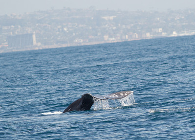 Gray Whale  San Diego Waters -2.CR2