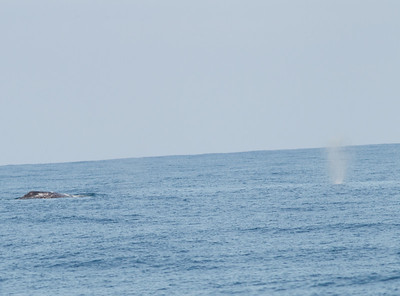Gray Whale  San Diego Waters -1.CR2