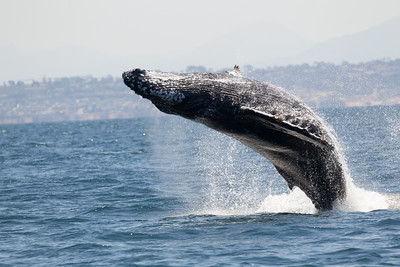 Humpbacked Whale San Diego Waters 2016 07 05-14.CR2