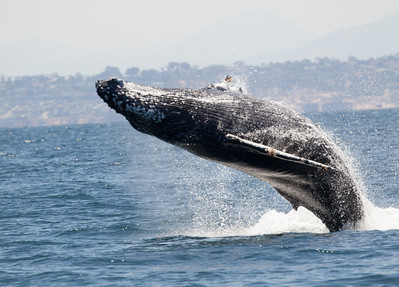 Humpbacked Whale San Diego Waters 2016 07 05-15.CR2