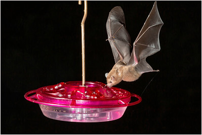 Bat species, Trinidad, Trinidad and Tobago, 17 November 2014