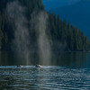 Humpback Whales, British Columbia