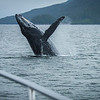 Humpback Whale, British Columbia