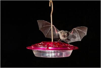 Bat species, Trinidad, Trinidad and Tobago, 16 November 2014