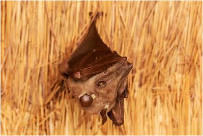 Gambian Epauletted Fruit Bat, Makasutu, Gambia, 1 March 2019