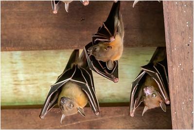 Lesser Dog-faced Fruit Bat, Sungei Buloh, Singapore, 16 November 2019