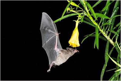 Pallas's Long-tongued Bat, Laguna de Lagarto, Costa Rica, 1 April 2019