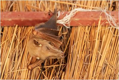 Gambian Epauletted Fruit Bat, Makasutu, Gambia, 27 February 2020