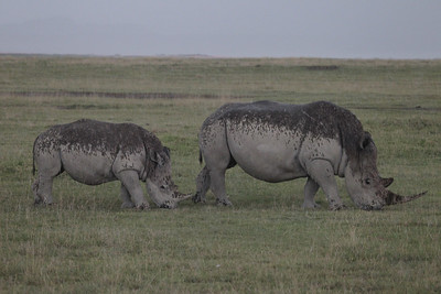 White Rhinos in the rain