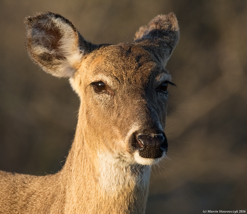 Deer closeup