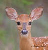 White-tailed Deer at Saint Andrews Park in Florida :