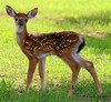 Baby White Tailed Deer at Tim's Ford State Park in Tennessee.