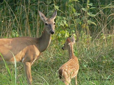 White Tailed Deer at Tims Ford, TN