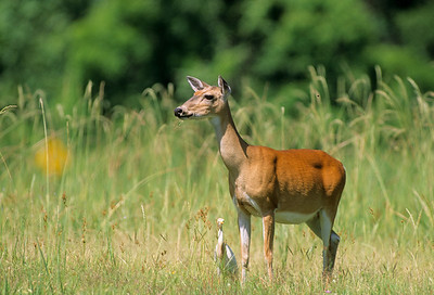 White-tailed Deer-109