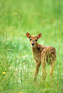 White-tailed Deer-107
