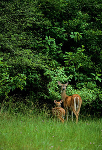 White-tailed Deer-101