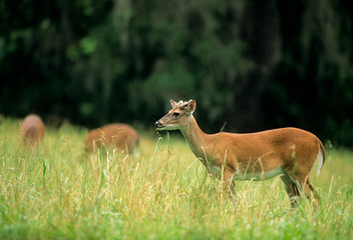 White-tailed Deer-118