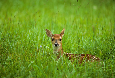 White-tailed Deer-110