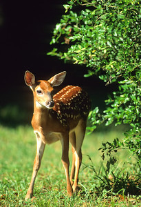 White-tailed Deer-104