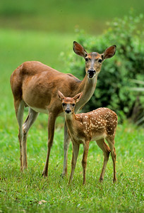 White-tailed Deer-116