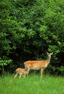 White-tailed Deer-102