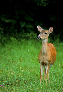 White-tailed Deer-106