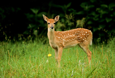 White-tailed Deer-108