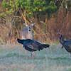 Deer and turkeys_SS78032