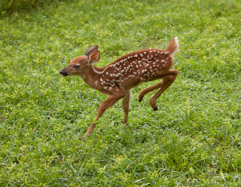 Fawn_SS121568c