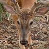Whitetail buck in velvet
