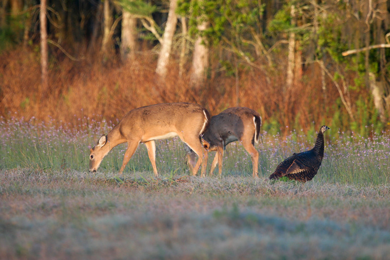 Deer and turkeys_SS78045