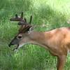 Whitetail buck in velvet yawning