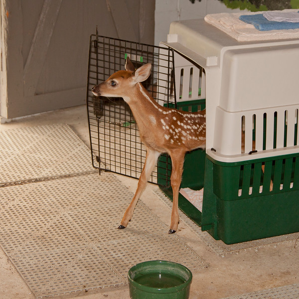 Fawn SS31480