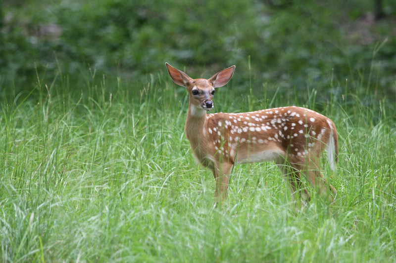 Fawn_SS070216